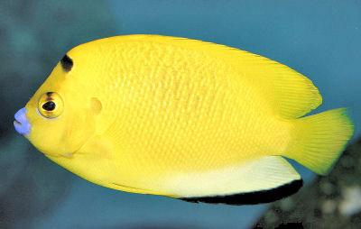 Cá Hoàng Yến - Cá Sim Vàng