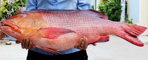 Mua bán cá hồng chuối biển Phan Thiết tươi ngon tại TpHCM, Sài Gòn