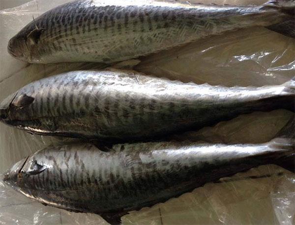 Hình ảnh cá thu biển