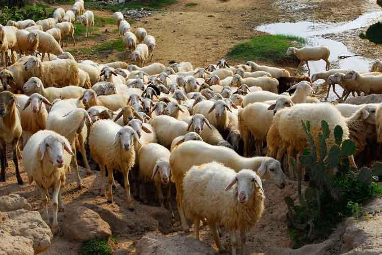 thịt cừu ninh thuận - thit cuu ban o dau