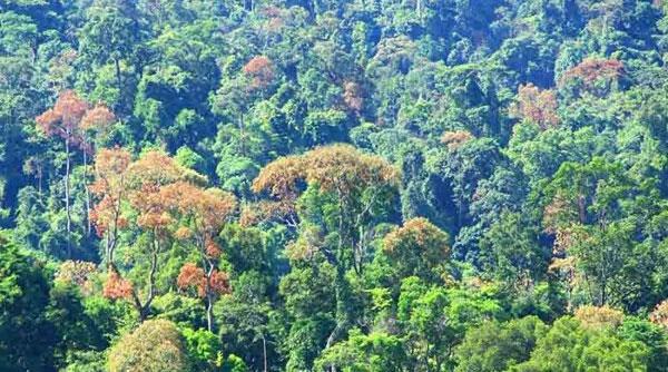 hình ảnh rừng cây đười ươi