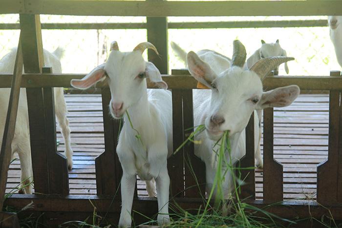 trang trại sữa dê tươi gmilk