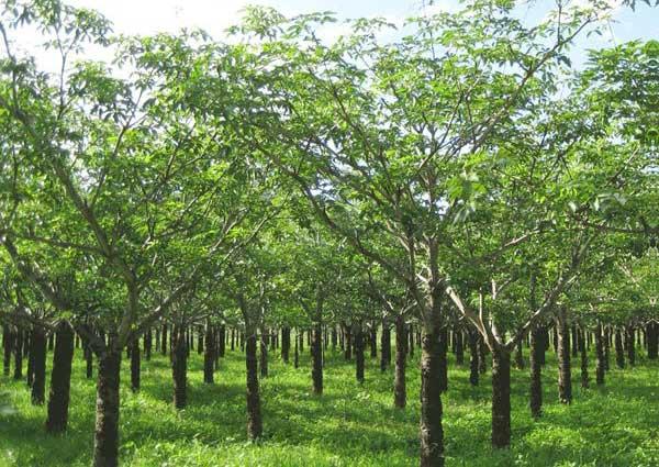 Cây mủ trôm là cây gì, hình ảnh cây mủ trôm
